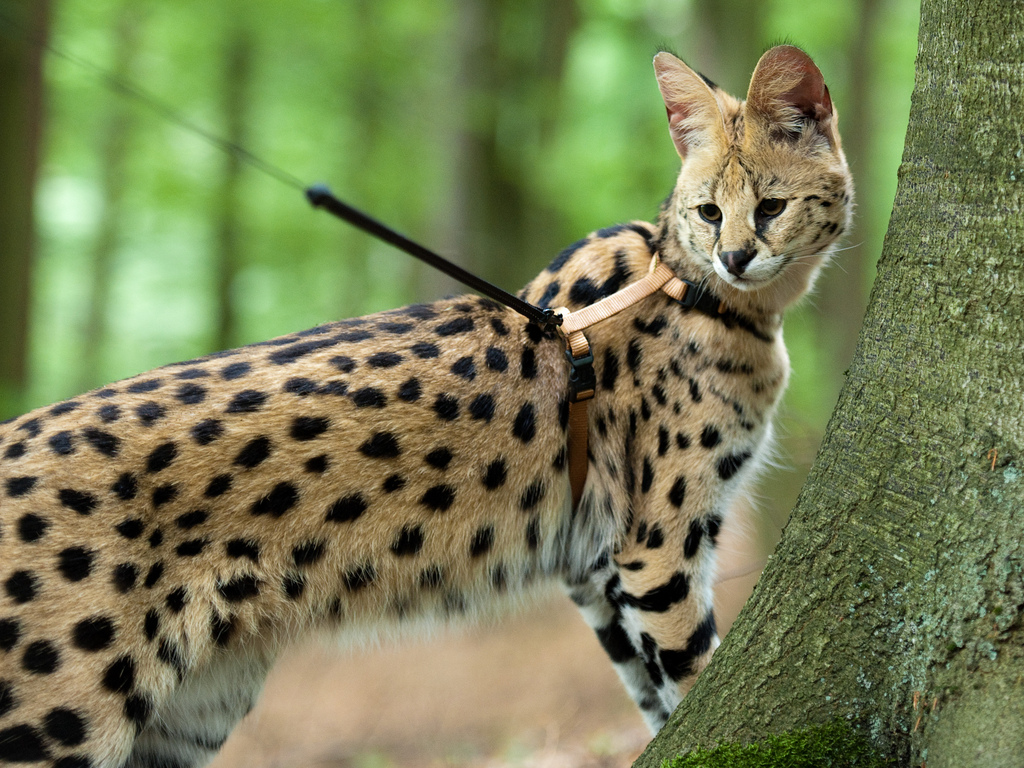 serval3